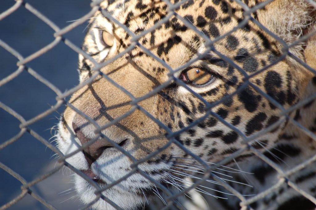 Tygr za mřížema