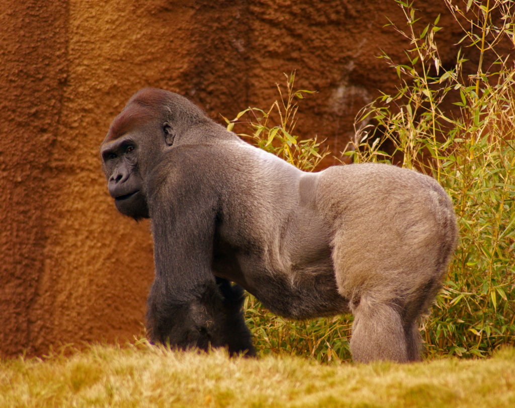 Pořádná gorila