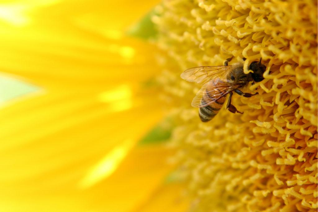Včela opyluje