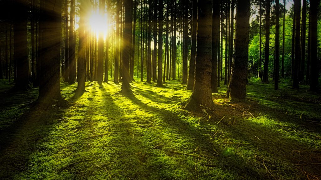 Slunce v zeleném lese