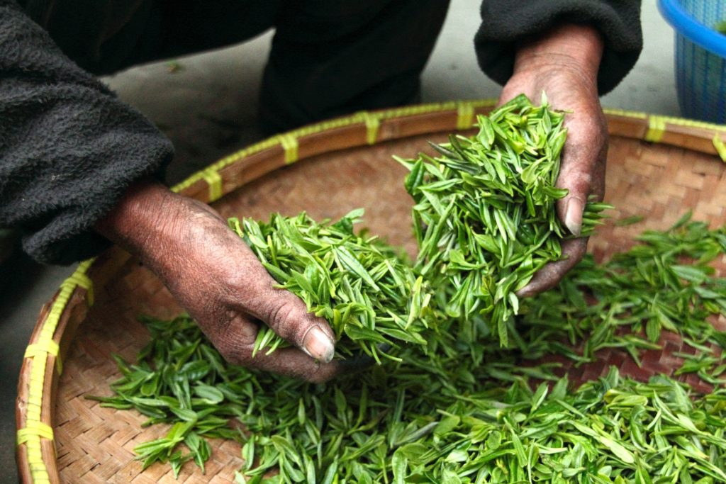 Čerstvý zelený čaj v čínských rukou